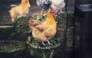 hens that have been treated with colloidal silver